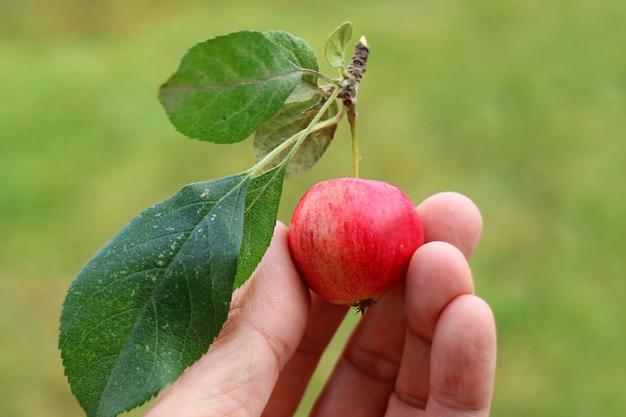 Mano che tiene un piccolo frutto maturo di mela granchio raccolto fresco