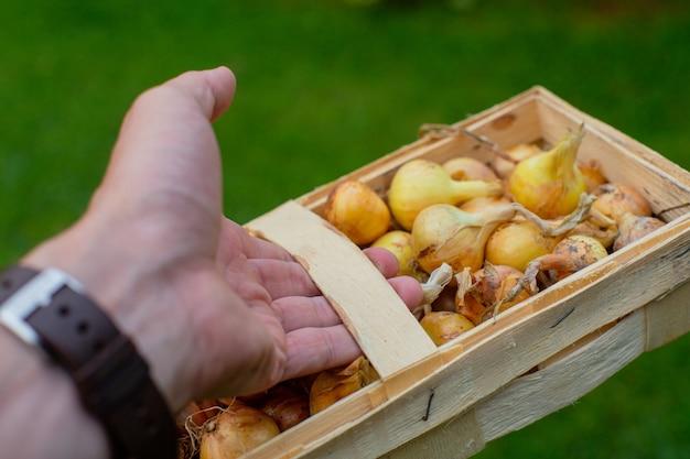 La mano tiene un cestino di vimini rettangolare con cipolle fresche. è ora di raccogliere le verdure.