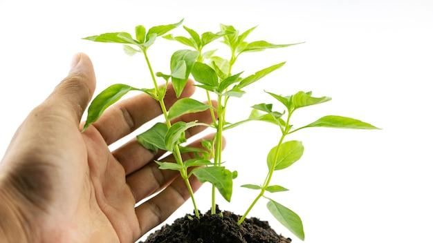 Man mano che tiene una pianta albero verde che dà significato di albero di gestione ambientale isolato su sfondo bianco.