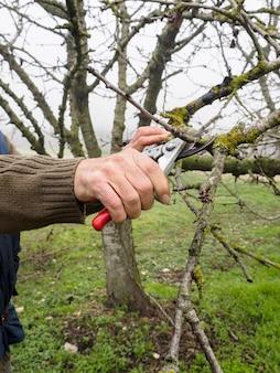 La mano di un uomo la potatura di un albero giovane con cesoie da potatura, in un campo in autunno in un giorno di nebbia