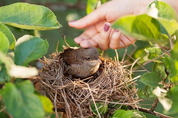 Accarezzare a mano un uccellino seduto nel nido