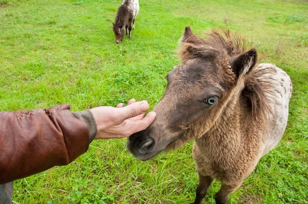 Mano accarezza un simpatico pony.