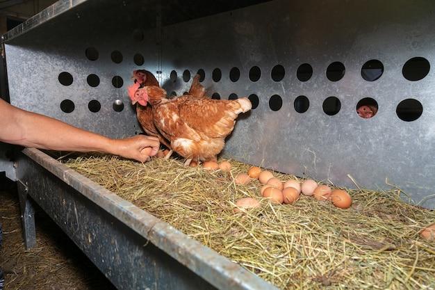 Raccolta manuale delle uova in un allevamento di galline