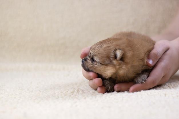 Rilascia a mano un cucciolo carino, piccolo e soffice di spitz di pomerania sul pavimento. il concetto di salute canina, allevamento di cani, bellissimi cuccioli.
