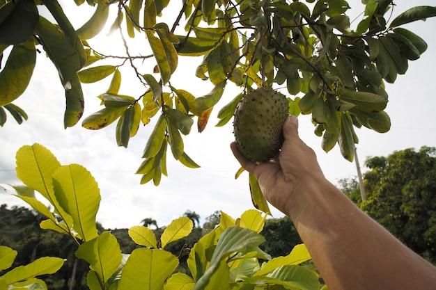 Mano strappa la frutta guanabana biologica (soursop) dall'albero. punto di vista.