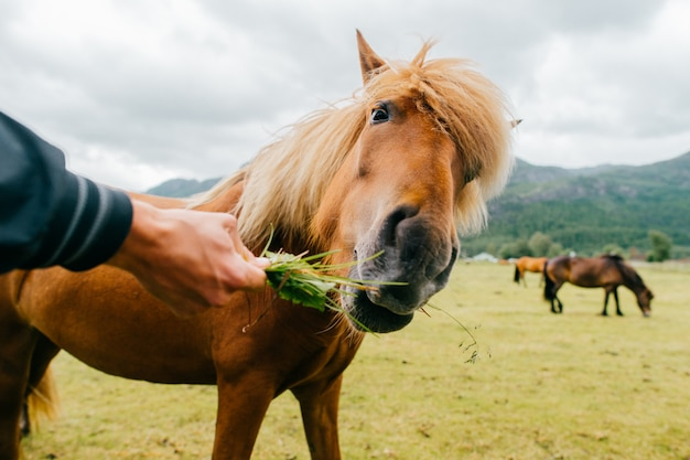 Mano con il cavallo d'alimentazione dell'erba sul pascolo
