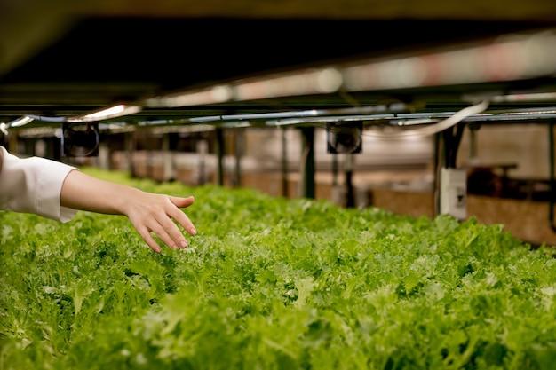 La mano del coltivatore della donna raccoglie l'insalata idroponica e organica della vegetazione nell'imprenditore di piccola impresa del proprietario della serra