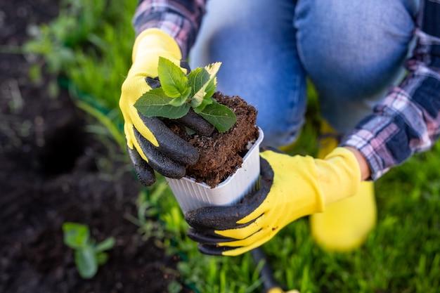 La mano del giardiniere della donna in guanti tiene la piantina del piccolo albero di mele nelle sue mani che si preparano a piantare