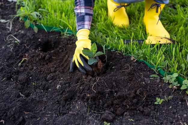 La mano del giardiniere della donna in guanti tiene la piantina di piccolo melo nelle sue mani che si preparano a piantare
