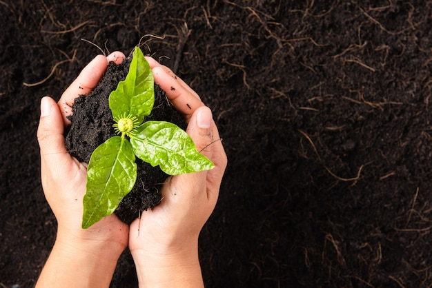Mano della donna che tiene il terreno fertile nero della composta con l'albero che coltiva la vita piccola pianta verde