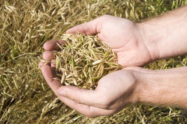 Manciata di grano