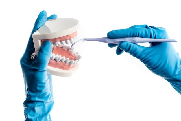 Mani in guanti blu che esaminano il modello dei denti isolato su fondo bianco