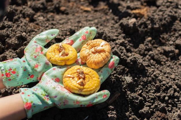 Mani in guanti clourful con bulbi di gladiolo pronti a piantare