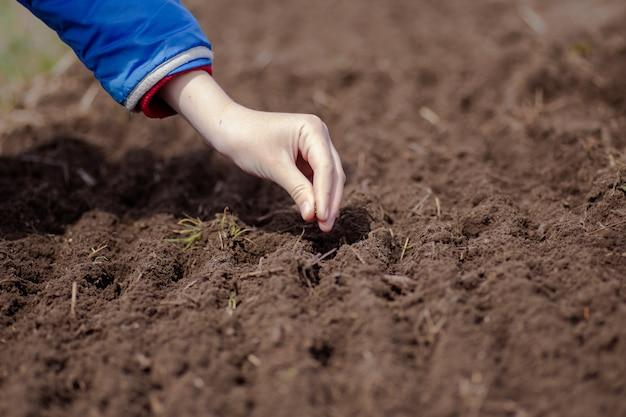 Mani del coltivatore che coltivano e che nutrono i semi di pianta delle carote nel letto del giardino.