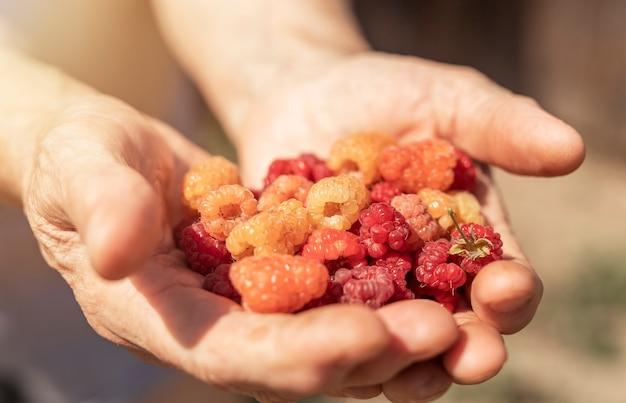 Mani piene di lamponi rossi manciata di frutti di bosco freschi maturi