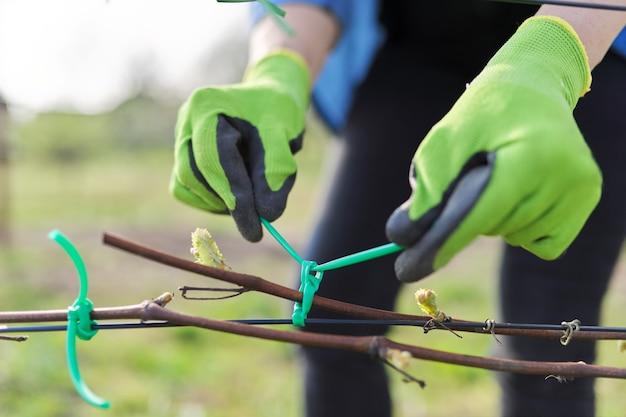 Mani del giardiniere che legano la vite con nastro adesivo al supporto, primo piano, primo lavoro primaverile in vigna