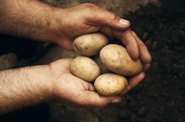 Mani in possesso di patate fresche appena scavate dal terreno