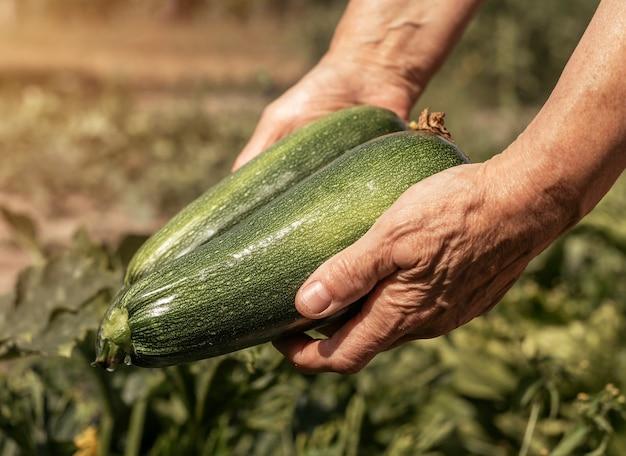 Mani che tengono zucchine da giardino ecologico biologico stagione del raccolto fresco con verdure di zucchine