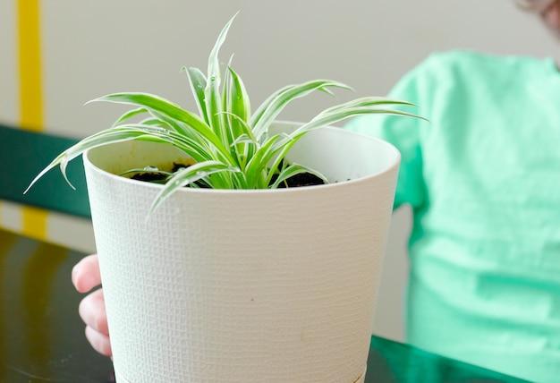 Mani piccolo bambino ragazzo che tiene albero verde sul vaso bianco.