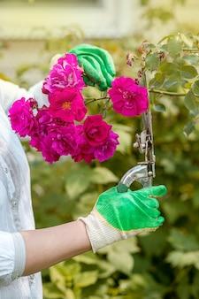 Le mani di una persona con cesoie da giardino o potatori in guanti in giardino tendono a cespugli di rose in fiore