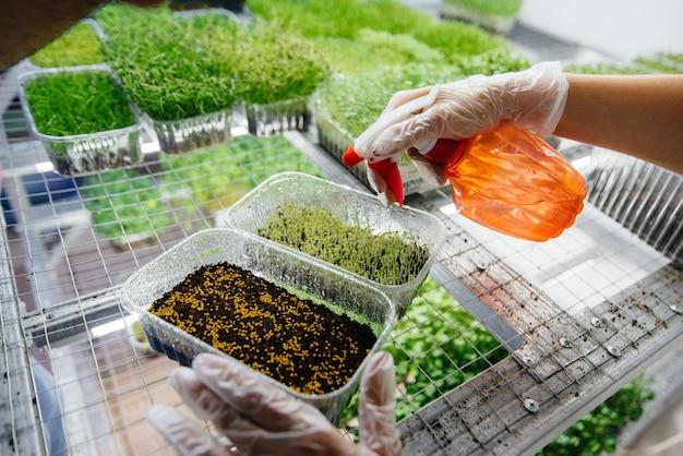 Mani piante semi di close-up micro verdi in una moderna serra