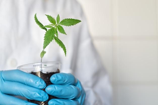 Mani di uno scienziato agronomo o farmacista che tiene in mano un germoglio di cannabis in una pentola
