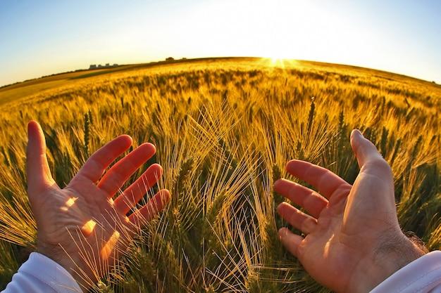 Mani con spighette di grano contro il sole al tramonto