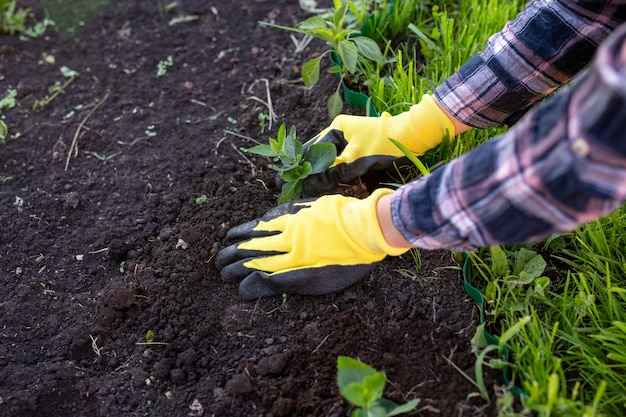 Le mani del giardiniere donna in guanti piantano piantine di piccoli alberi di quercia nel terreno. concetto di