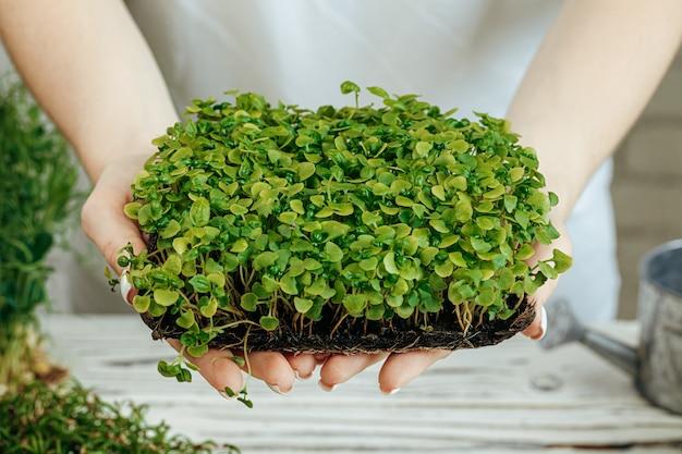 Mani dei vassoi di una tenuta della donna con micro verde