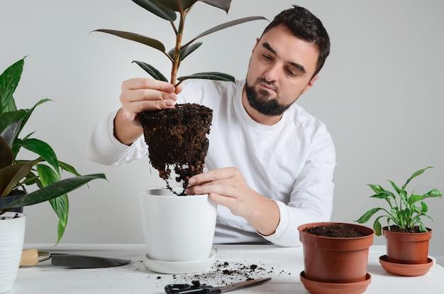 Bel uomo barbuto holding pianta d'appartamento con ficus robusta nelle mani