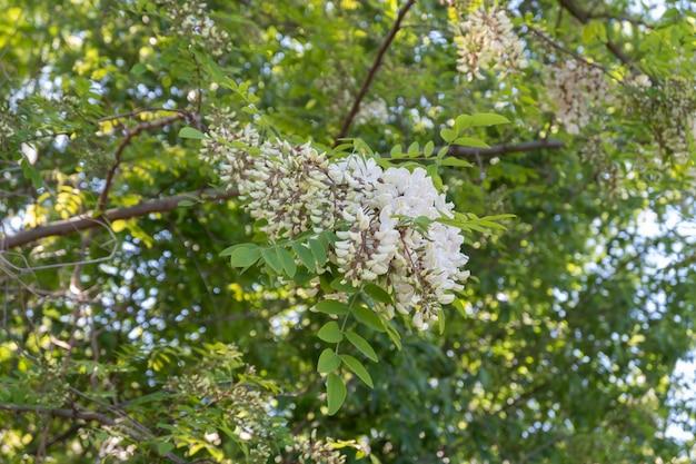 Fioritura d'attaccatura di un albero di robinia, robinia pseudoacacia, altrimenti noto come falso acacia.