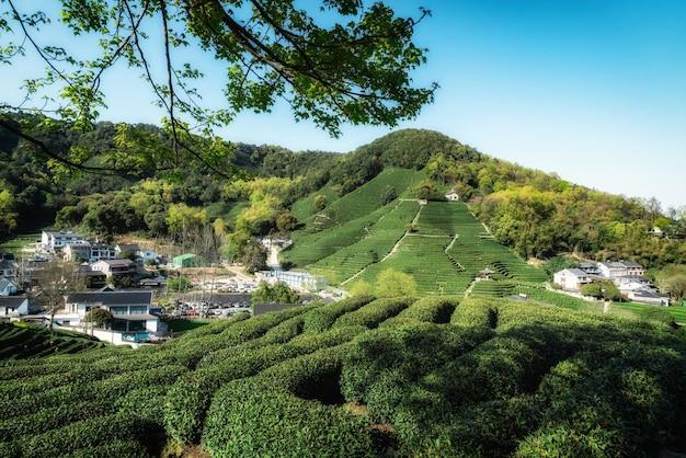 Montagna del tè longjing del lago ovest di hangzhou