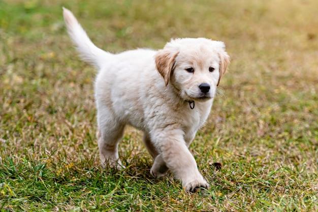 Felice 8 settimane vecchio golden retriever cucciolo di cane in esecuzione sul cortile verde del parco giochi