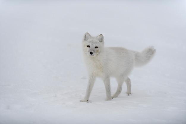 Volpe artica felice nella tundra invernale. volpe artica divertente.