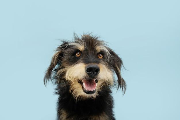 Cucciolo di cane adottato felice, attento e carino isolato sull'azzurro
