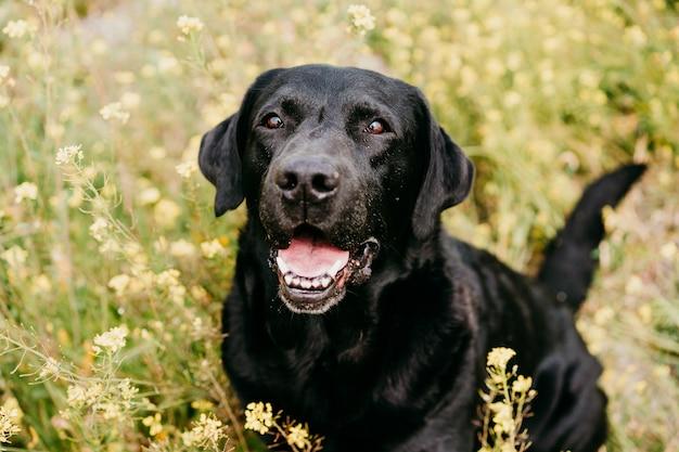 Cane labrador nero felice all'aperto in natura nel prato di fiori gialli. primavera soleggiata
