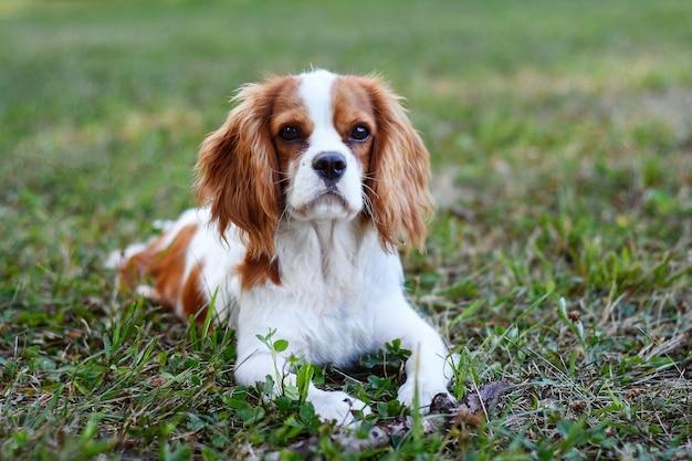 Felice cavalier king charles spaniel giace sull'erba nel parco in una giornata limpida e calda