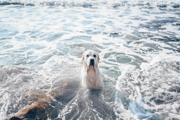 Felice allegro golden retriever nuoto in esecuzione che salta gioca con l'acqua sulla costa del mare in estate