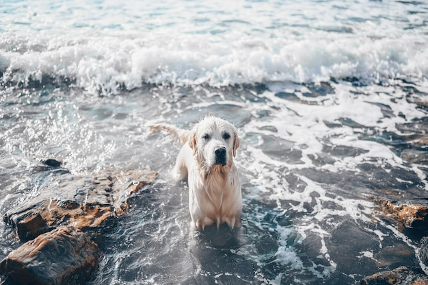 Felice allegro golden retriever nuoto in esecuzione saltando gioca con l'acqua sulla costa del mare in estate.