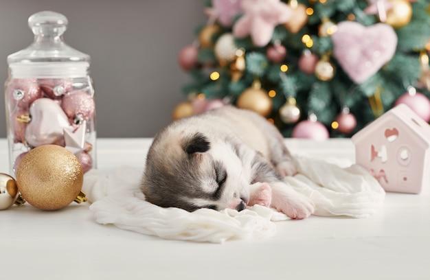 Cane di buon natale, cucciolo neonato husky. natale e capodanno cucciolo di siberian husky. modello per oroscopo cinese e calendario.
