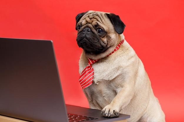 Felice cane di razza carlino impiegato in cravatta guardando il laptop