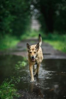 Cane felice che corre in una pozza d'acqua sul sentiero sullo sfondo sfocato del parco verde