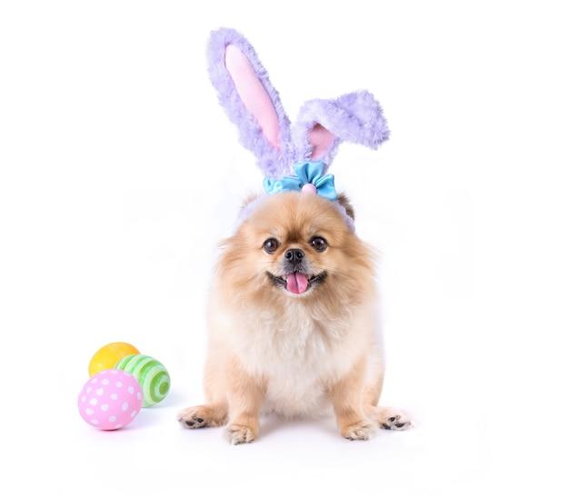 Felice giorno di pasqua uova colorate e simpatici cuccioli pomerania razza mista cane pechinese indossare orecchie da coniglio seduto isolato su sfondo bianco.