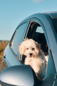 Un mini cucciolo di cane barboncino francese felice guardando fuori dal finestrino di una macchina con la lingua fuori