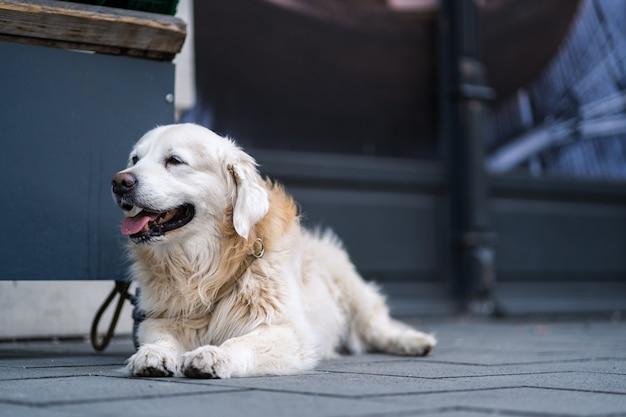 Un felice golden retriver aspetta al guinzaglio davanti al negozio di alimentari