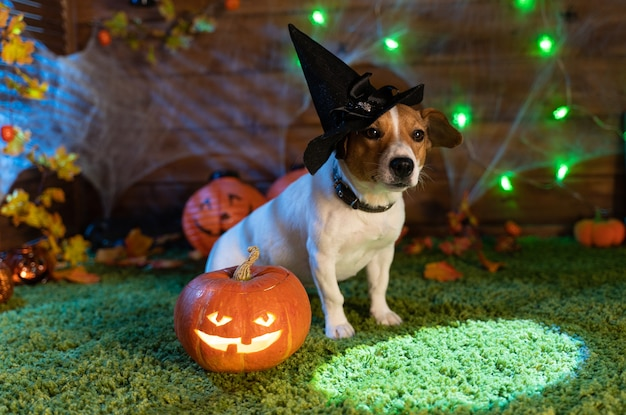 Felice halloween. cane jack russell terrier in costume e sullo sfondo di zucche fumo lanterne scheletri per halloween spaventoso
