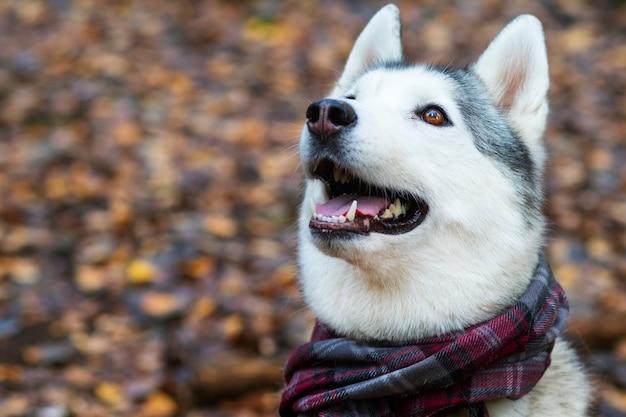 Sorridere felice del fronte del husky. cane canadese del nord. copia spazio