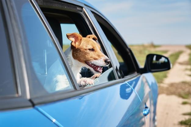 Happy jack russell terrier cane guardando fuori dal finestrino della macchina. viaggio con un cane