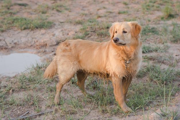 Golden retriever felice, fangoso e bagnato nell'aria aperta
