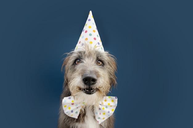 Cane di razza pura felice che celebra il compleanno o il carnevale che indossa il cappello e la cravatta a farfalla del partito. isolato sulla superficie blu.